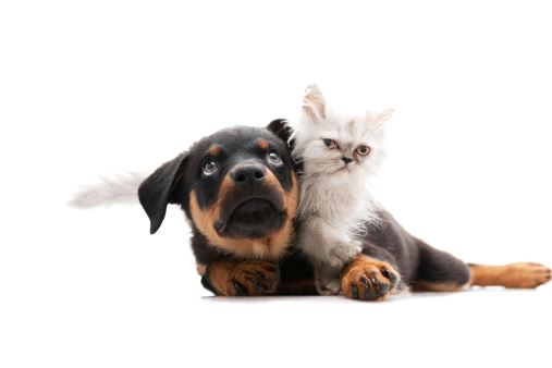 little persian cat and rottweiler isolated on white