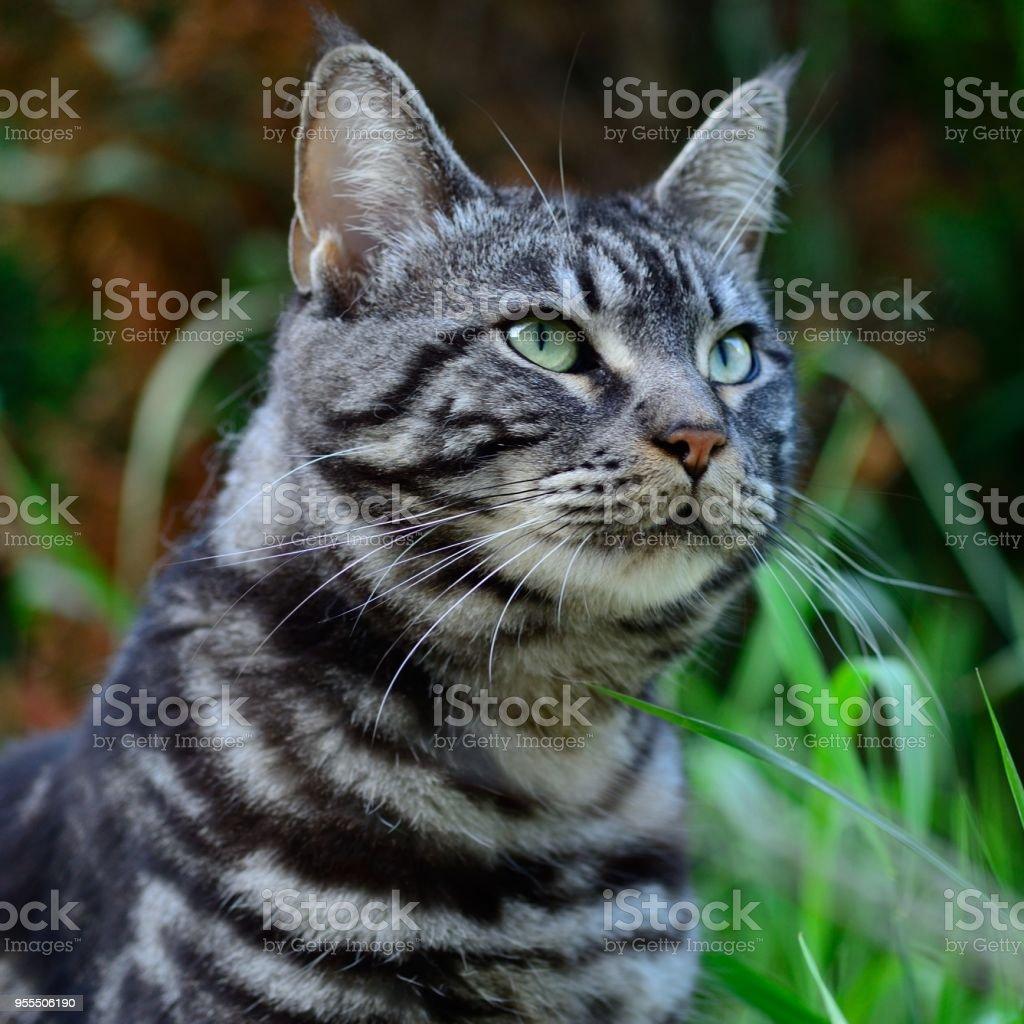 Mein Haustier-Tiger-Streifen-Kater (Maine Coon) – Foto