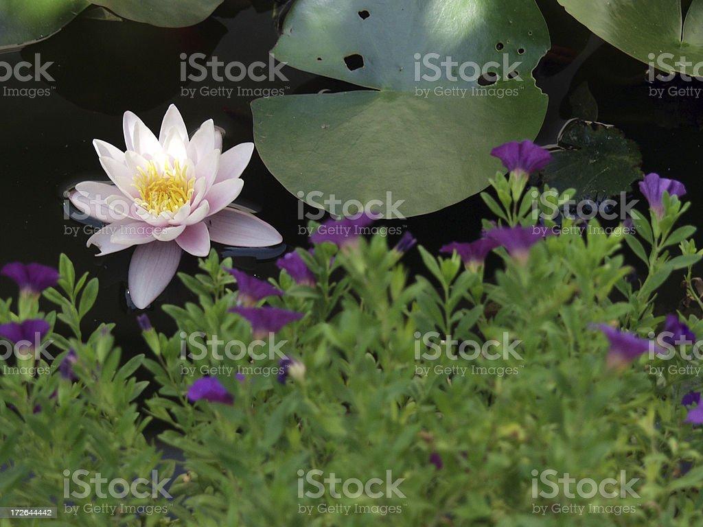 My Pond royalty-free stock photo