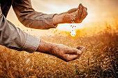 Farmer holding grain in sunset