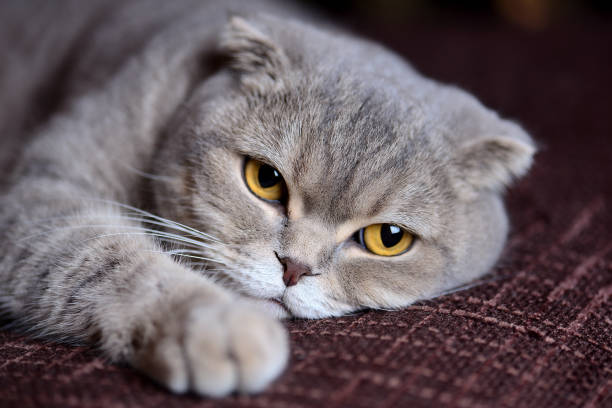 My Scottish Fold cat stock photo