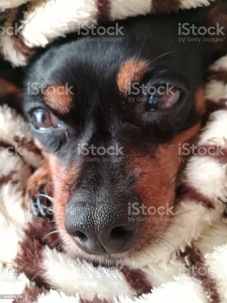 My sleepy dog - foto stock