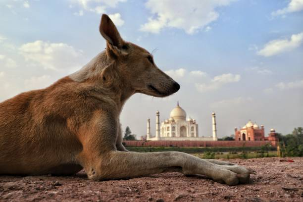 My Taj Mahal A dog sitting on the wall of mehtab baag,where we can see back view of Taj Mahal agra jama masjid mosque stock pictures, royalty-free photos & images