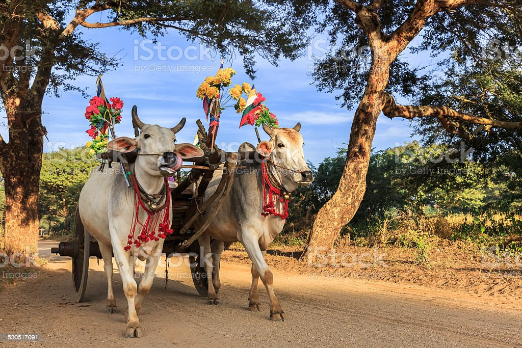 Myanmar Ox Cart stock photo