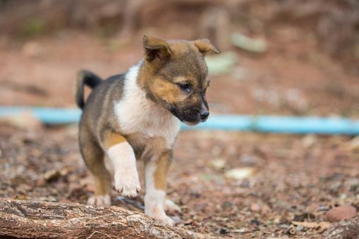 Myanmar: Puppy