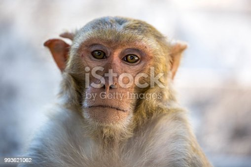 A close-up of a Rhesus Macaque (Macaca mulatta) at the base of Mount Popa.
