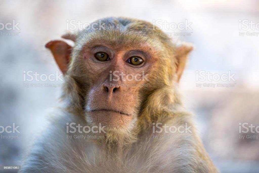 Myanmar: Rhesus Macaque stock photo
