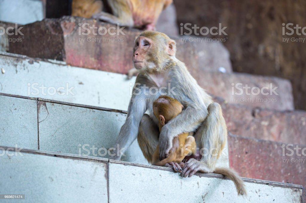 Tableau gorille couleur 8 myanmar rhesus macaque picture id993621474
