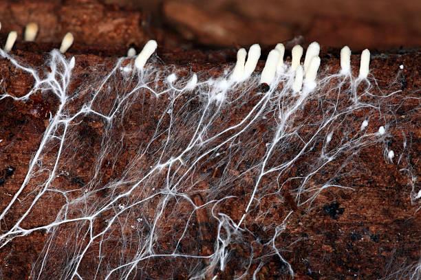 mycelium - foto de stock