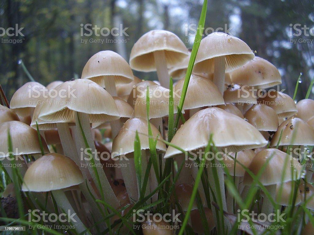 Mycena inclinata mushrooms royalty-free stock photo