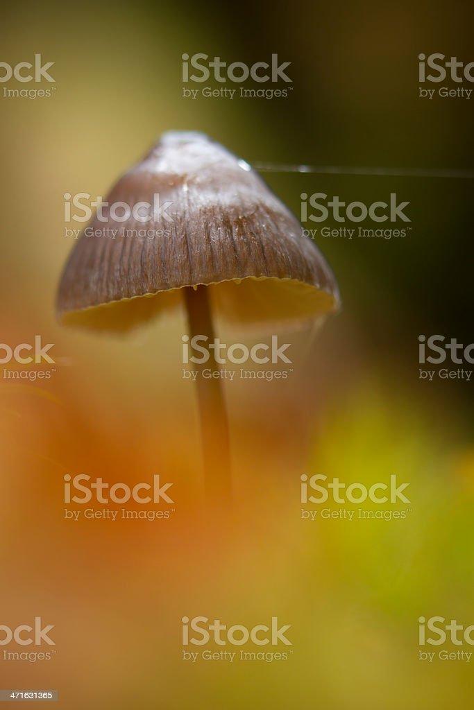 Mycena mushroom in forest autumn ambiance royalty-free stock photo