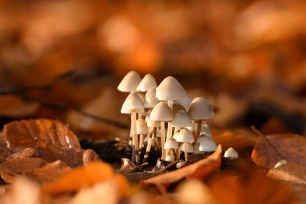 Mycenaceae fungus growing on the forest floor during an autumn morning