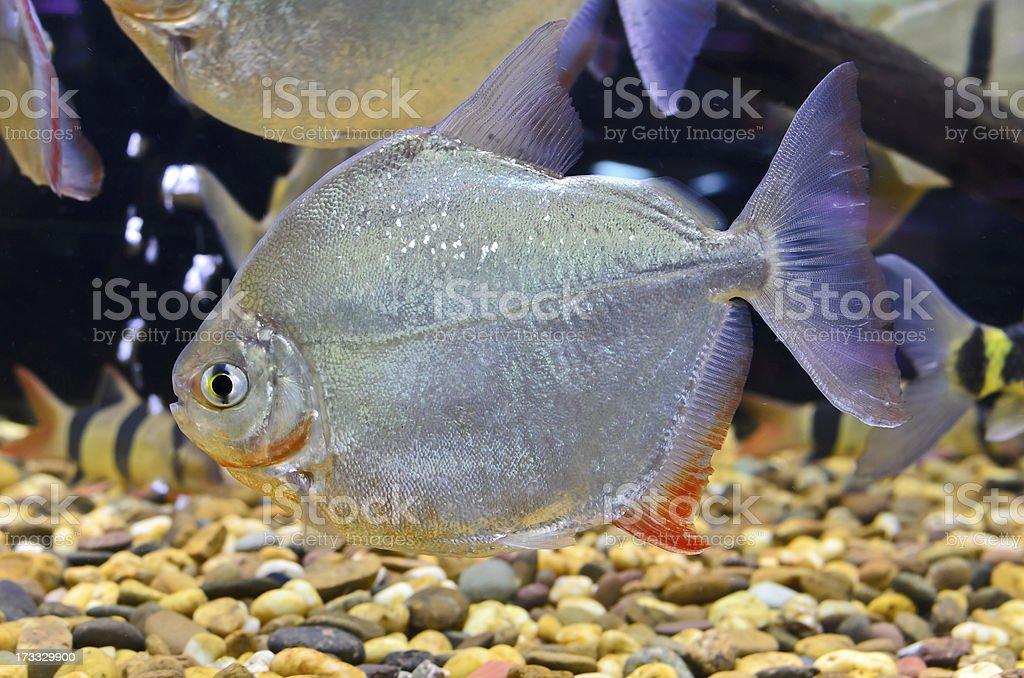 myleus schomburgkii fish in the aquarium stock photo