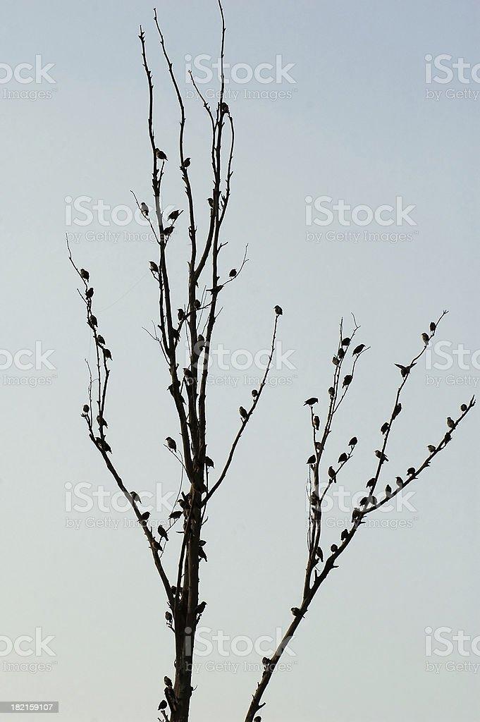 Myna Tree stock photo