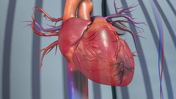 Myocardial Infarction A heart attack (myocardial infarction) is usually caused by a blood clot, which stops the blood flowing to a part of your heart muscle. acute angle stock pictures, royalty-free photos & images