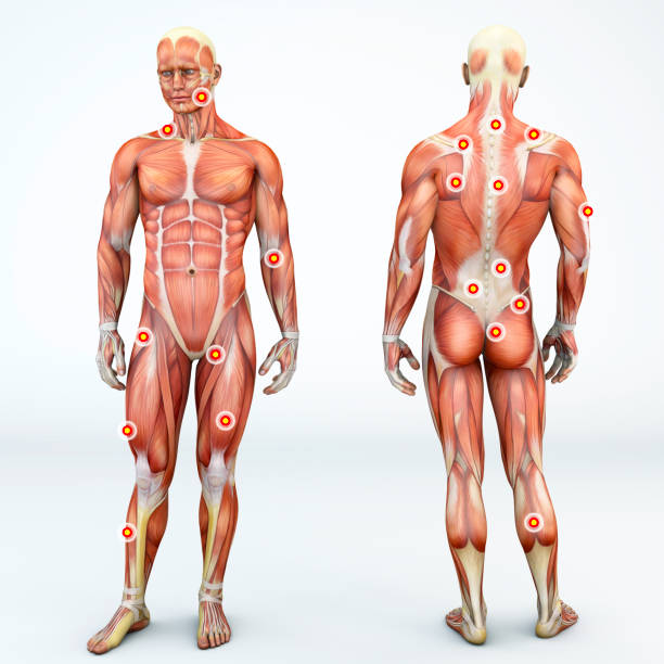 myofascial trigger points, are described as hyperirritable spots in the fascia surrounding skeletal muscle. palpable nodules in taut bands of muscle fibers. front and back view of a man. 3d rendering - physical therapy стоковые фото и изображения