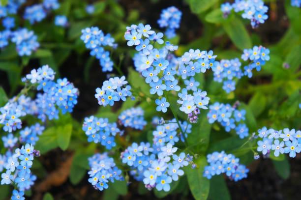 myosotis ou miosótis ou gramíneas escorpião azuis e rosa flores - miosótis - fotografias e filmes do acervo