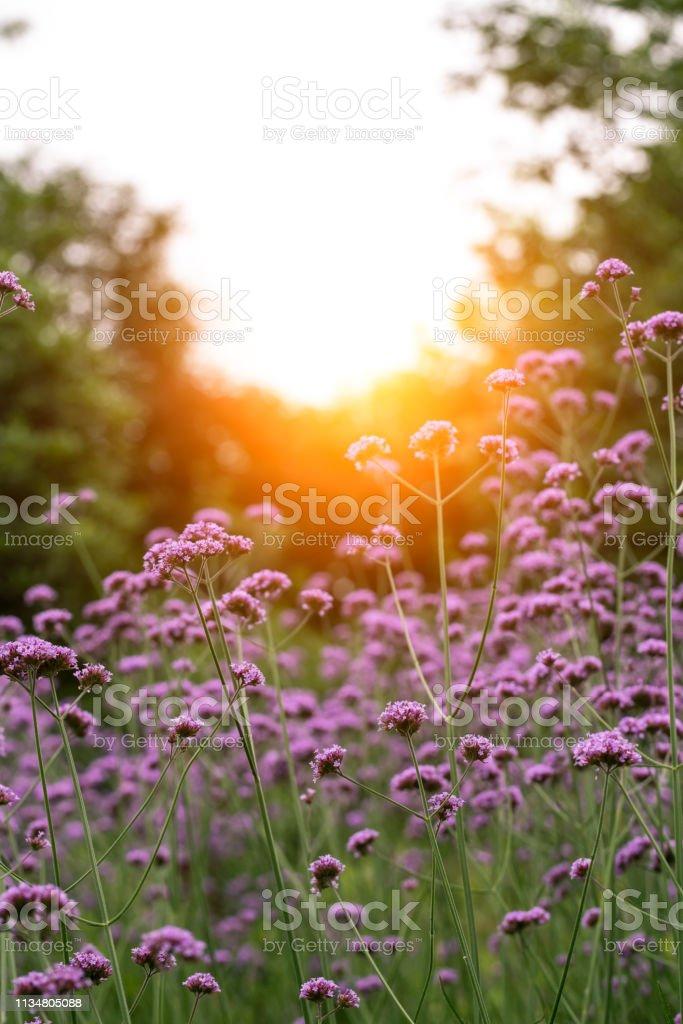 Myosotis silvatica flower blooming in Spring stock photo
