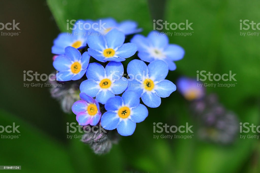 Myosotis sylvatica flowers stock photo