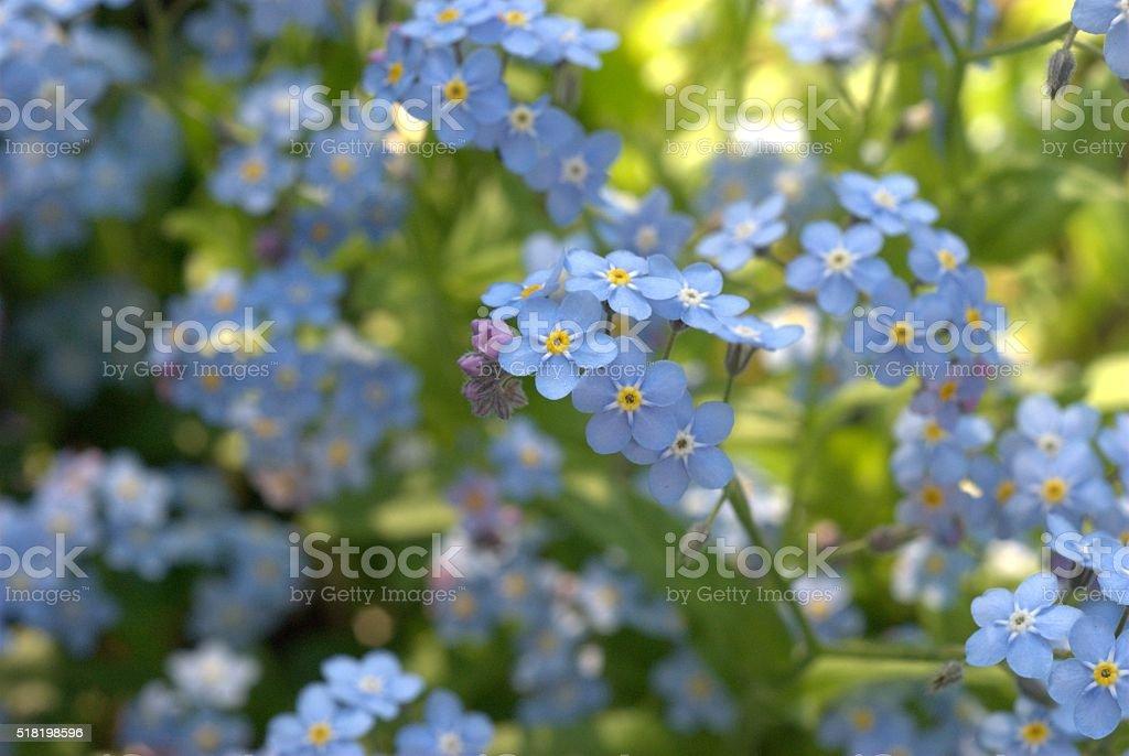 Vergissmeinnicht sylvatica/Vergißmeinnicht - Lizenzfrei Blume Stock-Foto