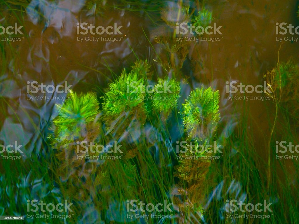 Myriophyllum aquaticum, Parrotfeather underwater, India stock photo