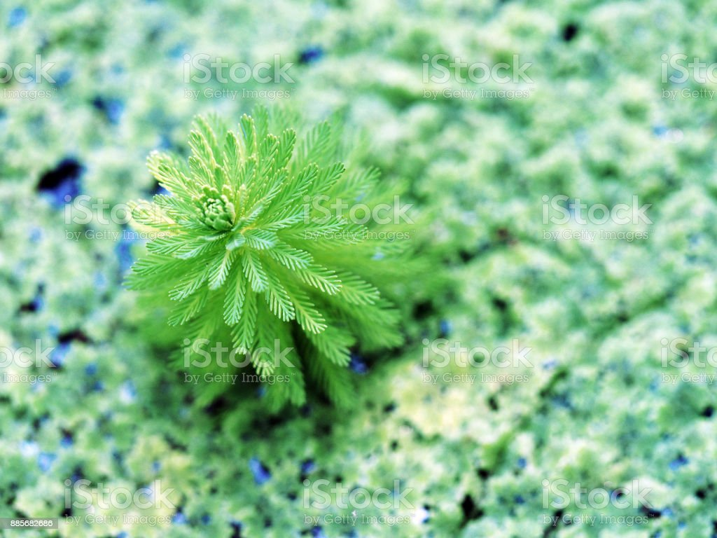 Myriophyllum aquaticum (mynophyllum aquaticum), parrot's-feather and parrot feather watermilfoil. Azolla caroliniana, mosquito fern, texture of duckweed. Natural green background, wild plants on the surface of standing water pond (lake, swamp, marsh, bog) stock photo