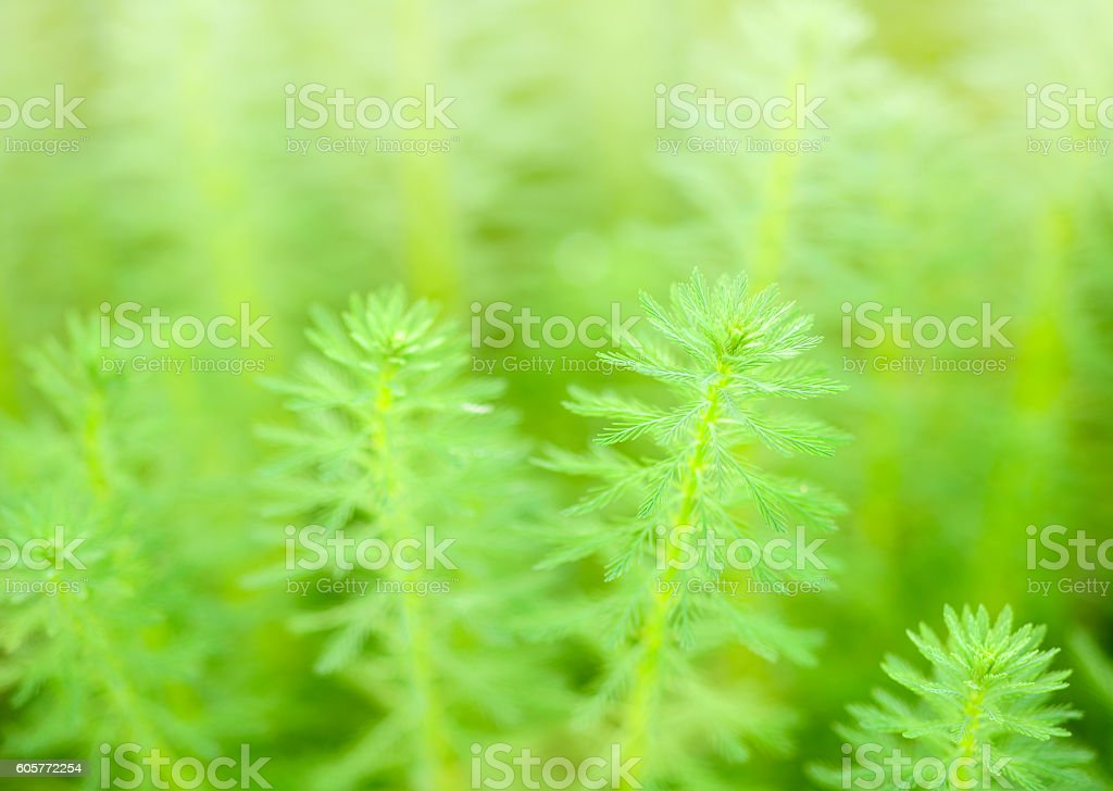 Myriophyllum, watermilfoil, freshwater aquatic plants. stock photo