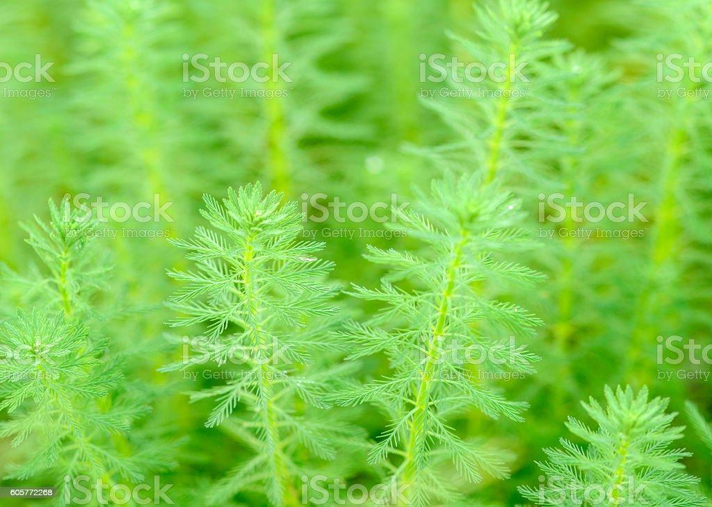 Myriophyllum, watermilfoil, freshwater aquatic plants. stock photo