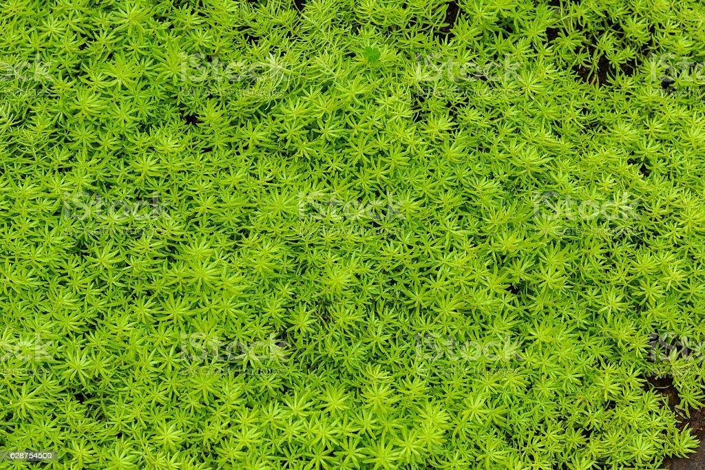 Myriophyllum, watermilfoil, freshwater aquatic plants stock photo