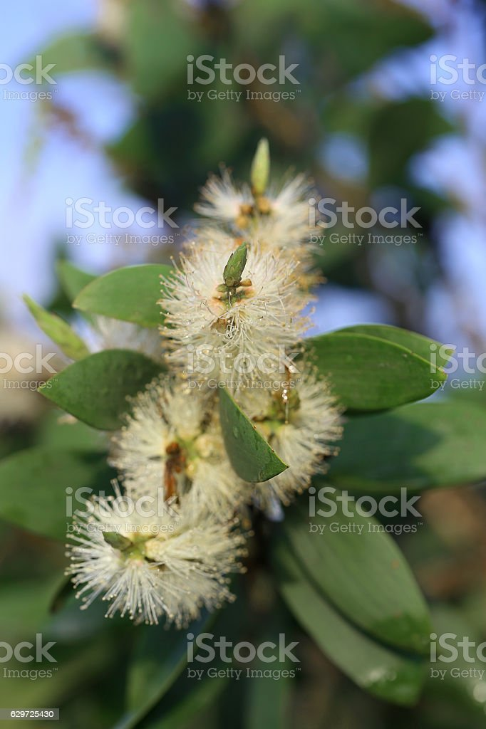 Myrtaceae (paperbarks, honey-myrtles or tea-trees) stock photo