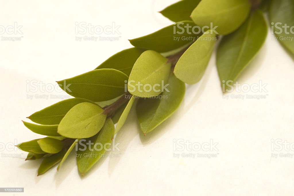 Myrtle Branch royalty-free stock photo