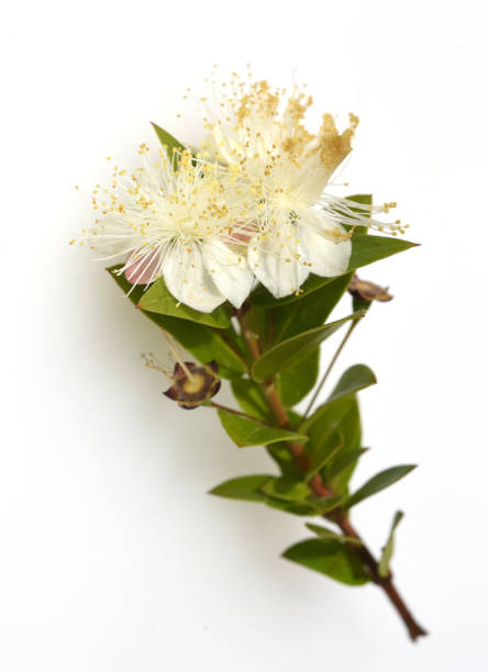 Myrte, Communis, Balsam, Kraut, weiß, Blüte – Foto