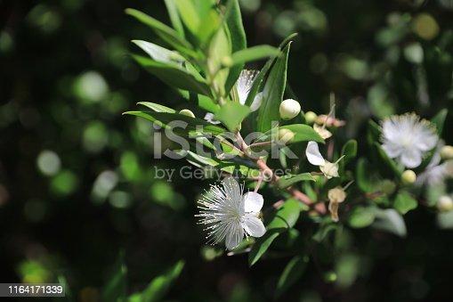 Myrtus communis, Plant, Flower, Blossom, Flower Head