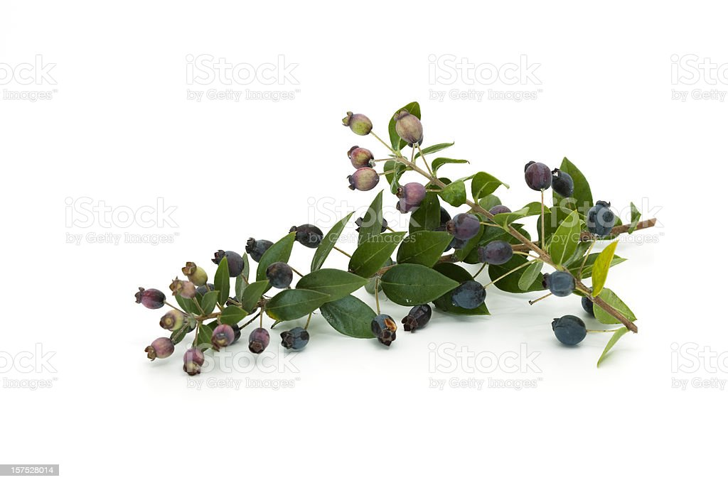 myrtle with fruits royalty-free stock photo