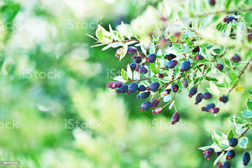 Myrtleberry royalty-free stock photo