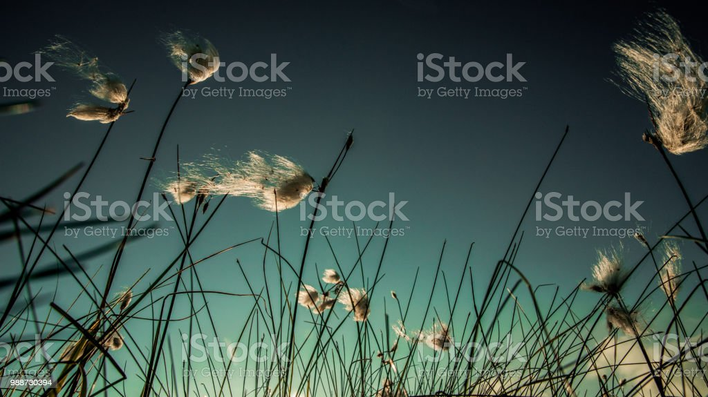 Myrull Eriophorum stock photo