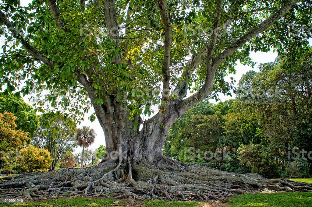 Mysore Fig Tree stock photo