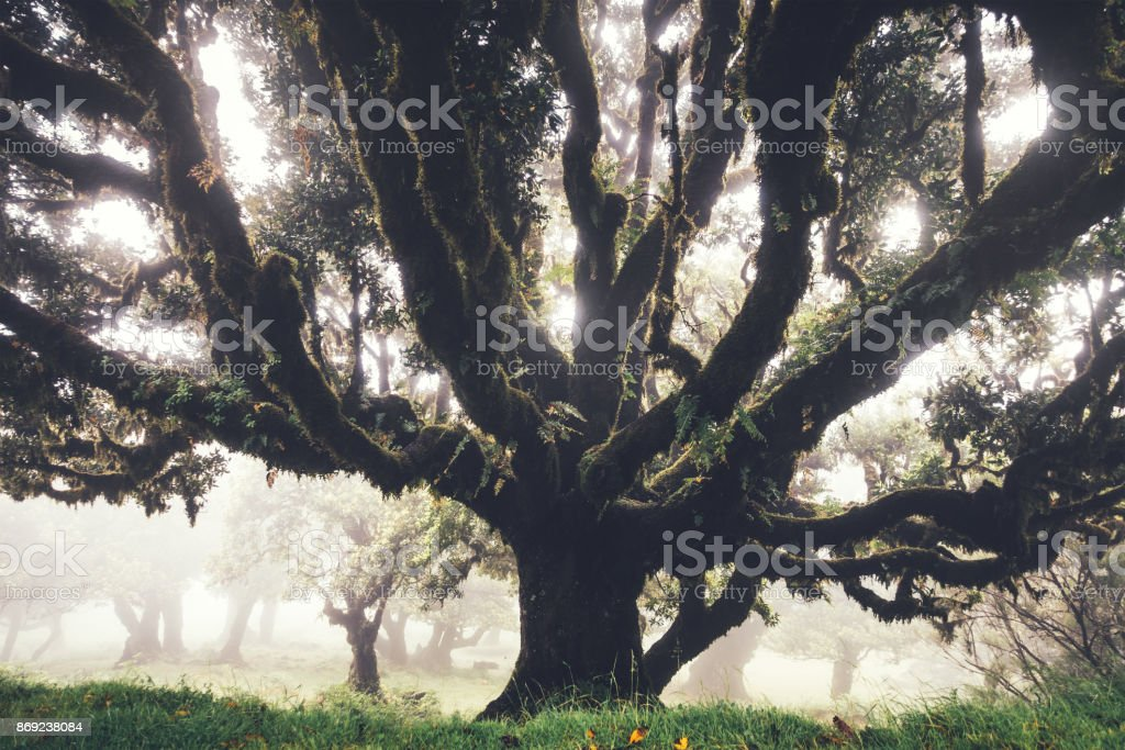 Mysterious 1000 Years Old Laurel Trees On Madeira Island stock photo