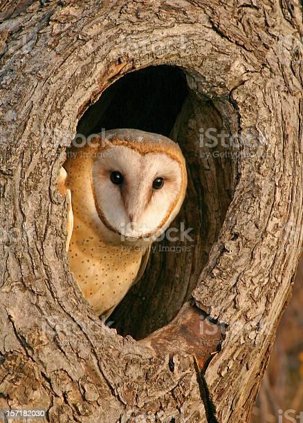 Mysterious barn owl in tree picture id157182030?b=1&k=6&m=157182030&s=612x612&h=6uybqcefljkpp04vsyljgej0xu8osl pah4rtei0mhw=