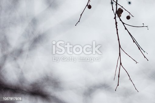 istock Mysterious Branches Of Dead Linden Tree With Seed Pods On Foggy Day With Copy Space 1057917976