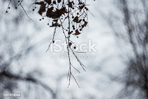istock Mysterious Branches Of Dead Linden Tree With Seed Pods On Foggy Autumn Day 1057918044