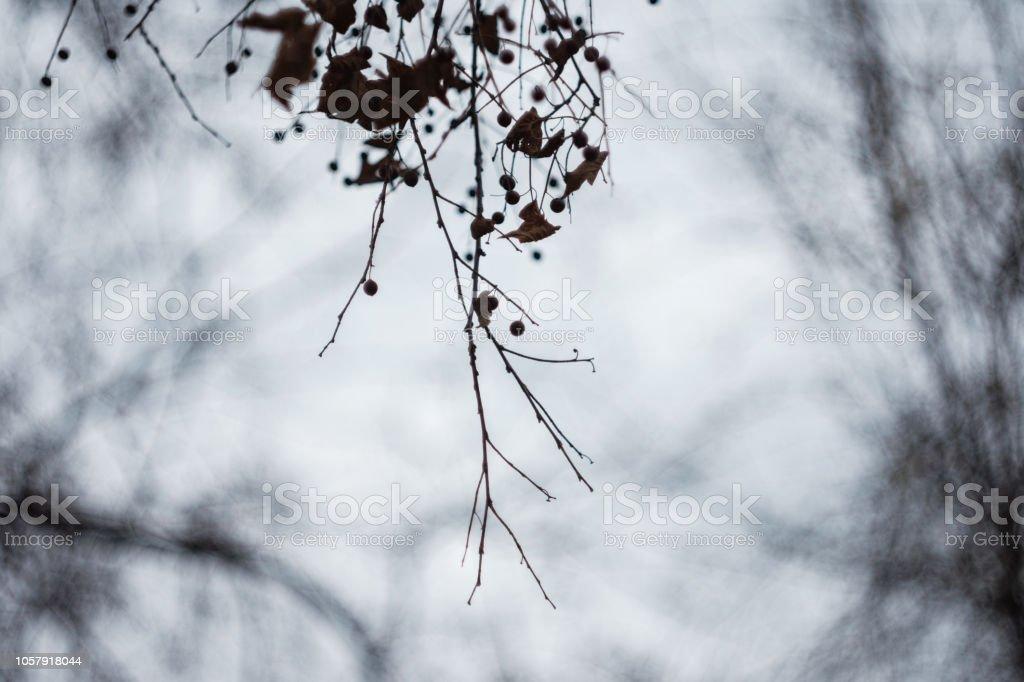 Misteriosos ramos da tília morto com vagens da semente em dia nebuloso de outono - foto de acervo