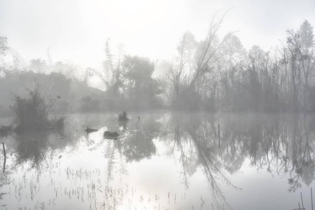 geheimnisvollen wald bei nebligen morgen im sumpfgebiet - teichfiguren stock-fotos und bilder