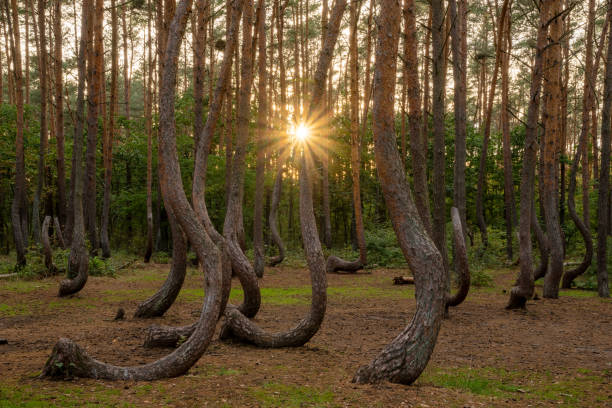 Mysterious forest with curved pines near Gryfino in Poland