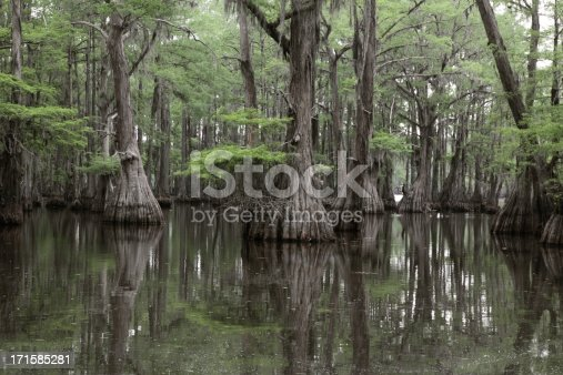 Bald Cypress Swamp in Louisiana.