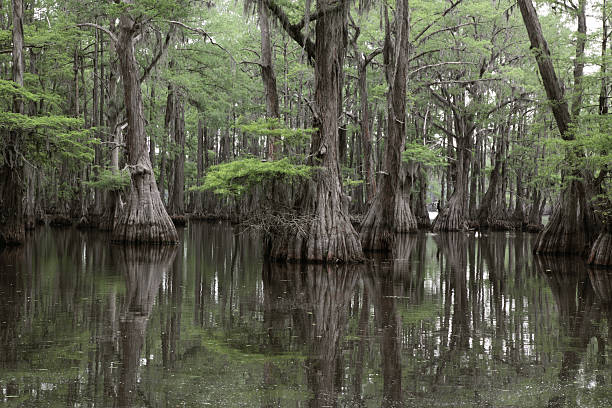 mysterious louisiana swamp - bald cypress tree stockfoto's en -beelden