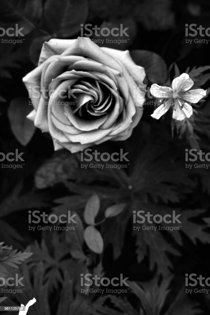 Mysterious roses stock photo