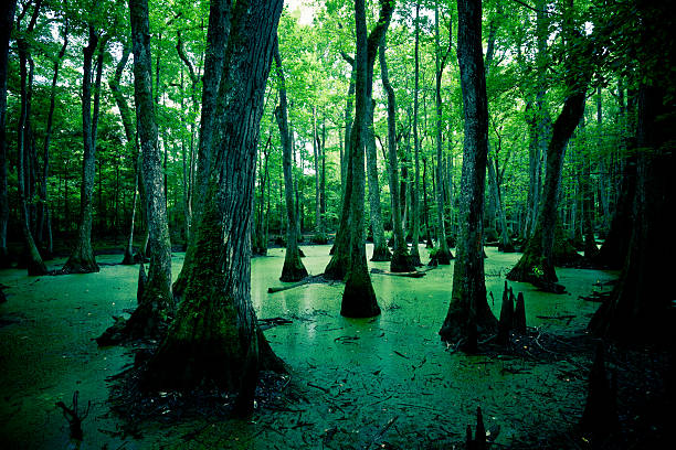 mysterious spooky swamps in louisiana, usa - bald cypress tree stockfoto's en -beelden