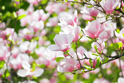 Mysterious spring floral background with blooming pink magnolia flowers on a sunny day