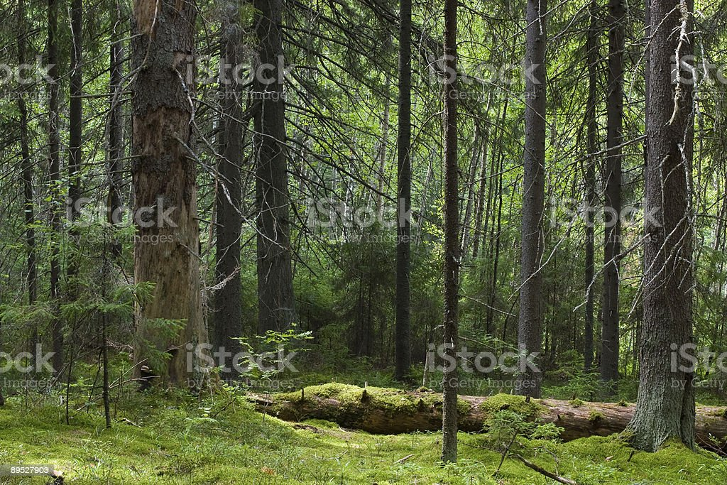 Mystery forest royalty-free stock photo